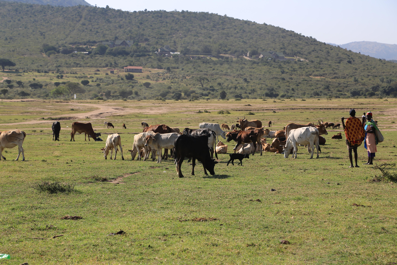 Los masáis y su papel clave en el control de las enfermedades animales
